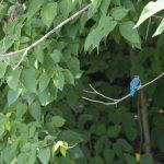 Nile Kingfisher