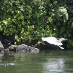 Nile Bird in Flight